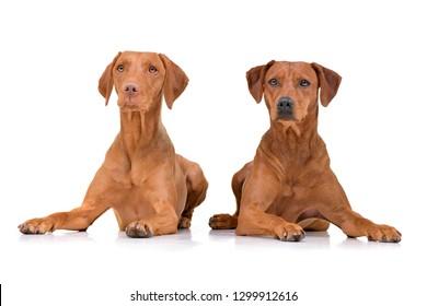 Studio shot of an adorable hungarian vizsla (magyar vizsla) and a mixed breed dog lying on white background.