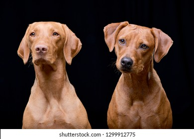 Studio shot of an adorable hungarian vizsla (magyar vizsla) and a mixed breed dog - isolated on black background.