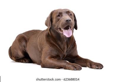 Studio shot of an adorable Labrador retriever lying on white background.