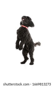 Studio shot of an adorable lagotto standing on his back foot