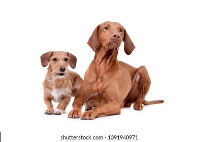 Studio shot of an adorable magyar vizsla and a wire haired dachshund mix dog - isolated on white background.