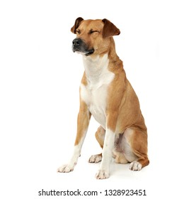 Studio shot of an adorable mixed breed dog sitting with closed eyes - isolated on white background.