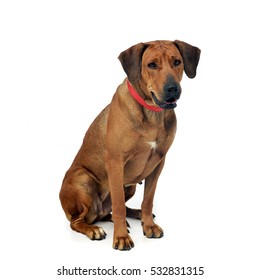 Top Rhodesian Ridgeback Black Adorable Dog - studio-shot-adorable-rhodesian-ridgeback-260nw-532831315  Image_77470  .jpg
