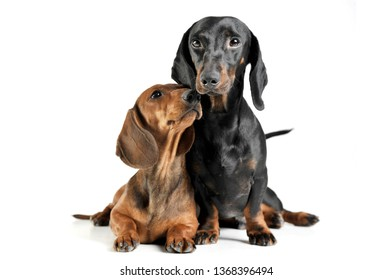 Studio shot of an adorable short haired Dachshund making friends with another Dachshund - isolated on white background.
