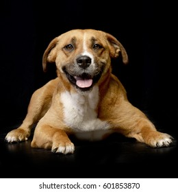 Studio shot of an adorable Staffordshire Terrier lying on black background.
