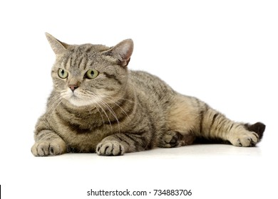 Studio shot of an adorable tabby cat lying on white background.