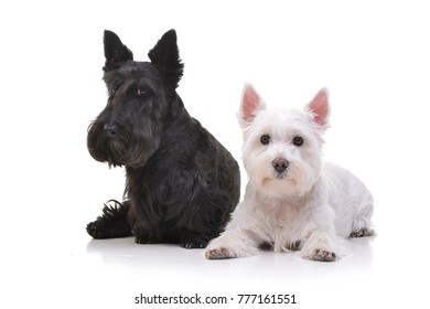 Studio shot of an adorable West Highland White Terrier and a Scottish terrier lying on white background.