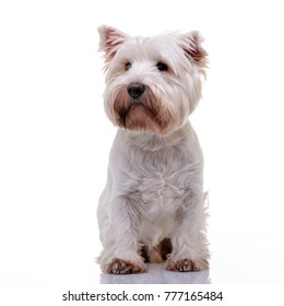 Studio shot of an adorable West Highland White Terrier standing on white background.