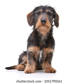 Studio shot of an adorable wire haired Dachshund sitting on white background.