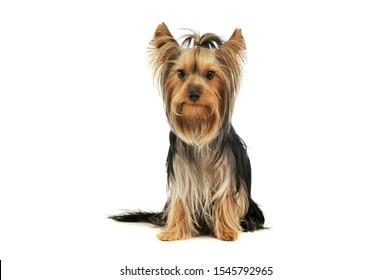 Studio shot of an adorable Yorkshire Terrier sitting and looking curiously