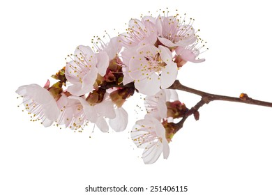 Studio shot of apricot blossom brunch isolated on white