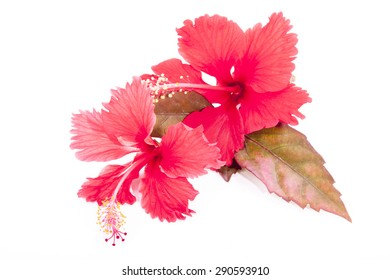 studio shot autumn colored leaves with two red hibiscus flowers on white