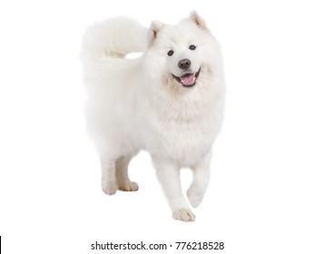 Studio shot of a beautiful Samoyed dog isolated on white background