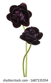 Studio Shot of Black Colored Tulip Flowers Isolated on White Background. Large Depth of Field (DOF). Macro. Close-up.