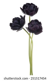 Studio Shot of Black Colored Tulip Flowers Isolated on White Background. Large Depth of Field (DOF). Macro. National Flower of The Netherlands, Turkey and Hungary.
