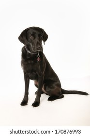 Studio shot of black labrador dog. Isolated on white.