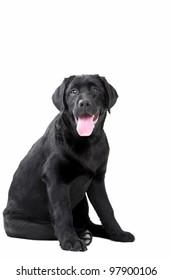 Studio shot of Black Labrador sitting on isolated white background