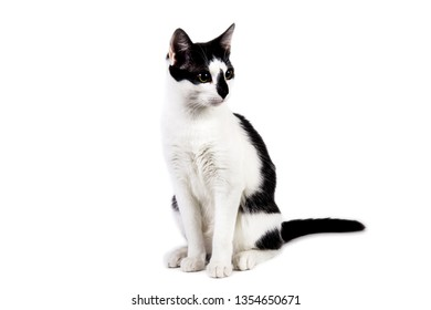 Studio shot of black and white cat sit on white isolated background.