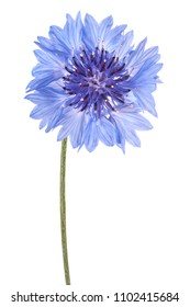 Studio Shot of Blue Colored Cornflower Isolated on White Background. Large Depth of Field (DOF). Macro.
