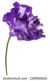 Studio Shot of Blue Colored Eustoma Flower Isolated on White Background. Large Depth of Field (DOF). Macro. Close-up.