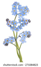 Studio Shot of  Blue Colored Forget-me-not  Flowers Isolated on White Background. Large Depth of Field (DOF). Macro. Symbol of True Love.