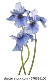 Studio Shot of Blue Colored Iris Flowers Isolated on White Background. Large Depth of Field (DOF). Macro.