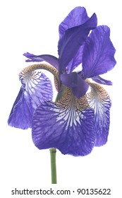 Studio Shot of Blue Colored Iris Isolated on White Background. Large Depth of Field (DOF). Macro. Symbol of Trust and Wisdom. Emblem of France.