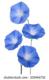 Studio Shot of Blue Colored Morning Glory Flowers Isolated on White Background. Large Depth of Field (DOF). Macro.