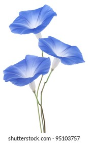 Studio Shot of Blue Colored Morning Glory Flowers Isolated on White Background. Large Depth of Field (DOF). Macro.