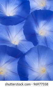 Studio Shot of Blue Colored Morning Glory Flowers Background. Large Depth of Field (DOF). Macro.