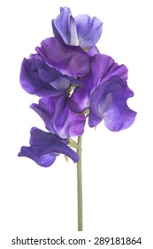 Studio Shot of  Blue Colored Sweet Pea Flowers Isolated on White Background. Large Depth of Field (DOF). Macro.