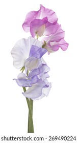Studio Shot of Blue and Pink Colored Sweet Pea Flowers Isolated on White Background. Large Depth of Field (DOF). Macro.