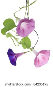 Studio Shot of  Blue and Pink Colored Morning Glory Flowers Isolated on White Background. Large Depth of Field (DOF). Macro.