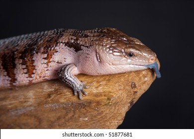studio shot of a blue-tongued skink, with tongue sticking out