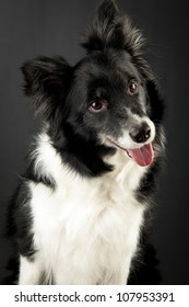 Studio shot of Border Collie