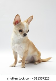 Studio shot of a Chihuahua isolated over white background