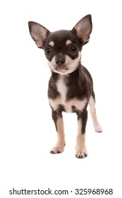 Studio shot of a Chihuahua puppy isolated over white background
