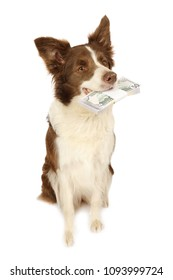 Studio shot of Collie border dog sitting on a white background in her teeth the stack of bills fifty dollars, isolated on a white background