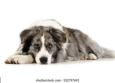 Studio shot of a cute Border Collie puppy lying on white background.