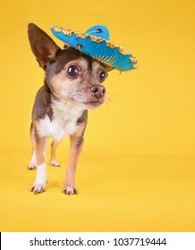 studio shot of a cute chihuahua with a sombrero hat on isolated on a yellow background