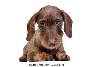 Studio shot of a cute Dachshund puppy lying on white background.