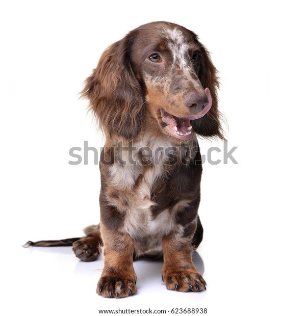 Studio shot of a cute Dachshund puppy sitting on white background.
