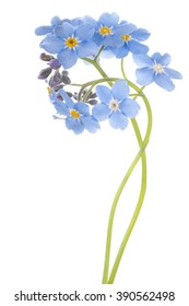 Studio Shot of Cyan Colored Forget-me-not Flowers Isolated on White Background. Large Depth of Field (DOF). Macro.