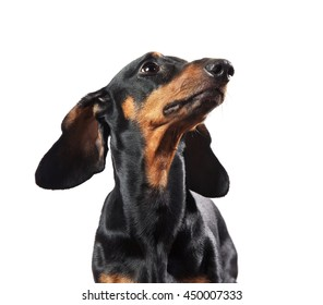 Studio shot of dachshund isolated on white