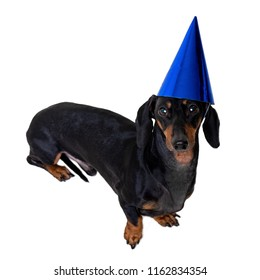 A studio shot of a dog dog (puppy) of the dachshund  breed, black and tan, wearing a blue party a happy birthday hat isolated on white background