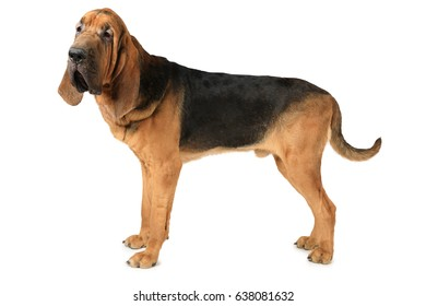 Studio shot of eighteen months old purebred Bloodhound dog over white background
