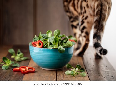 Studio Shot of fresh green Corn Salad with sweet pepper paprika rings with bengal cat inspecting curiously
