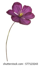 Studio Shot of Fuchsia Colored Clematis Flower Isolated on White Background. Large Depth of Field (DOF). Macro.
