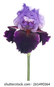 Studio Shot of Fuchsia Colored Iris Flower Isolated on White Background. Large Depth of Field (DOF). Macro. Symbol of Trust and Wisdom. Emblem of France.