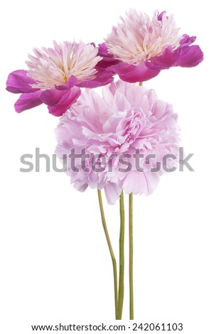 Studio Shot of Fuchsia Colored Peony Flowers Isolated on White Background. Large Depth of Field (DOF). Macro.